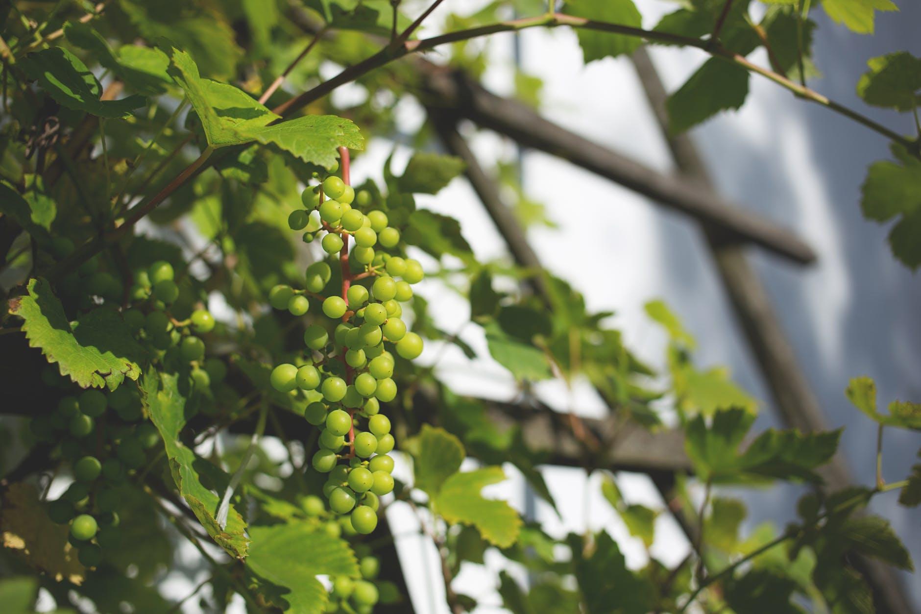 green round fruit